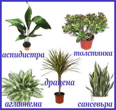 комнатные растения неприхотливые фото с названиями